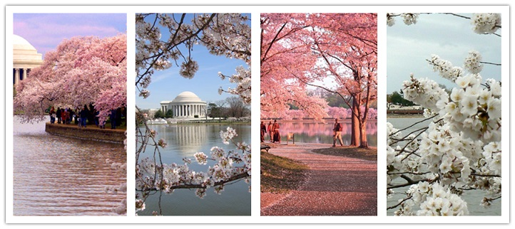 wonder travel|Cherry Blossom in Washington D.C 4 days $149.99+